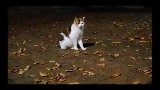 野良猫みけ